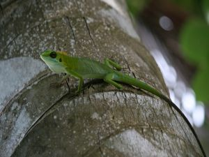 Green lizard with crest
