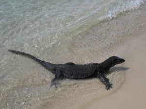Varanus in water